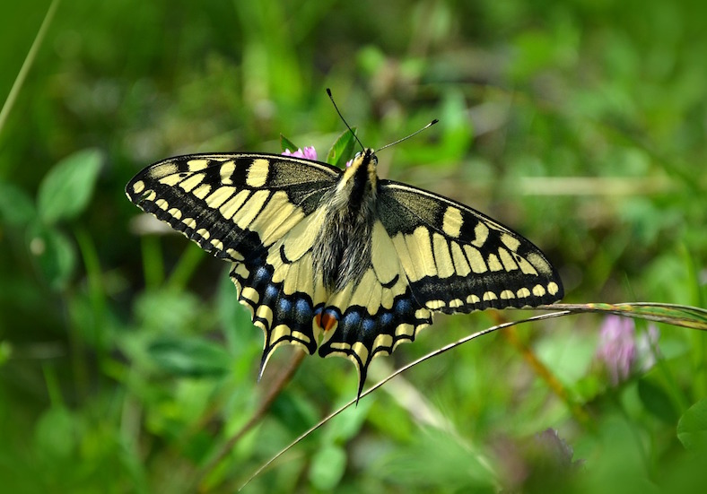 butterfly-491166_788x551 copy