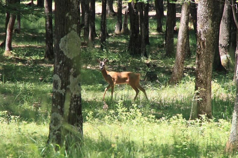 deer-87579_788x525copy