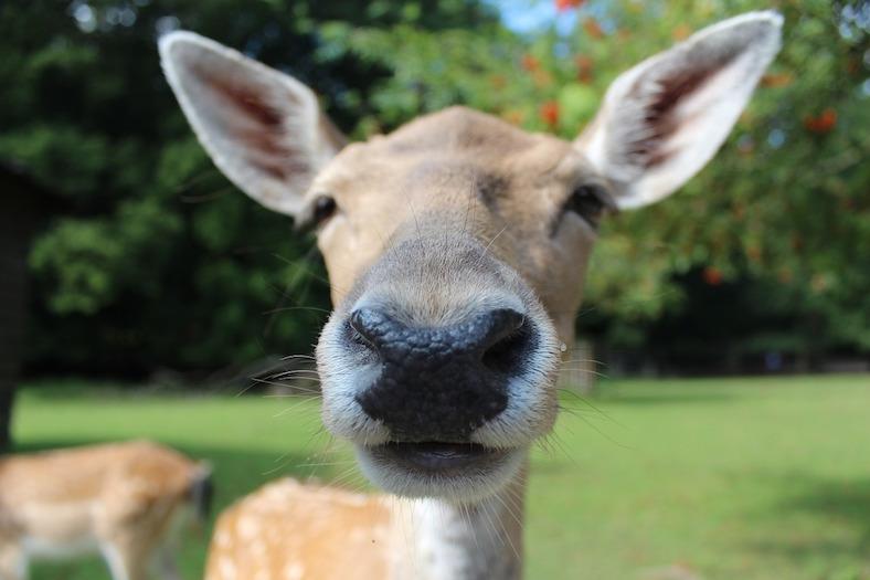fallow-deer-602253_788x525copy