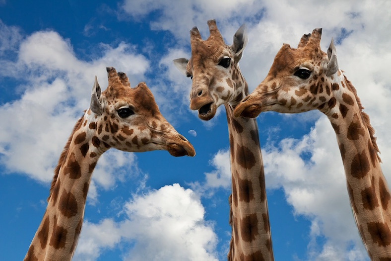giraffes-627031_788x525copy