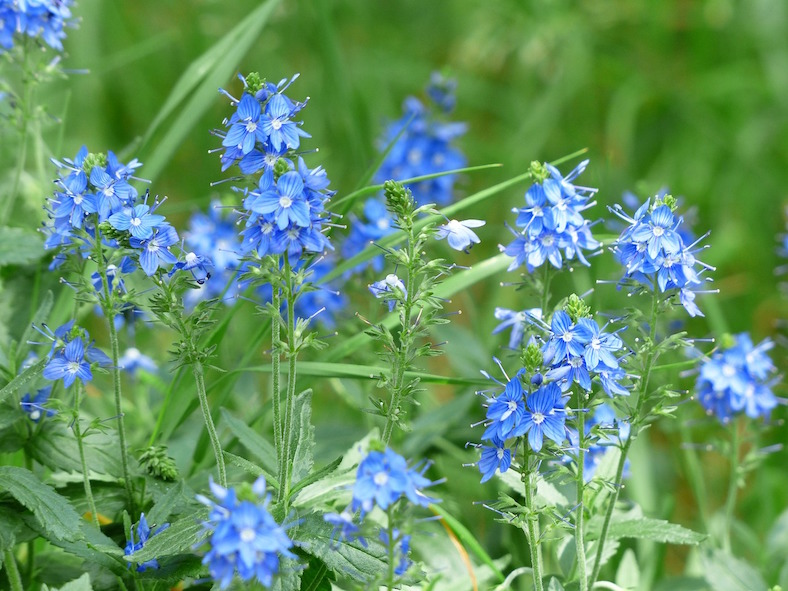 large-speedwell-167462_788x591 copy