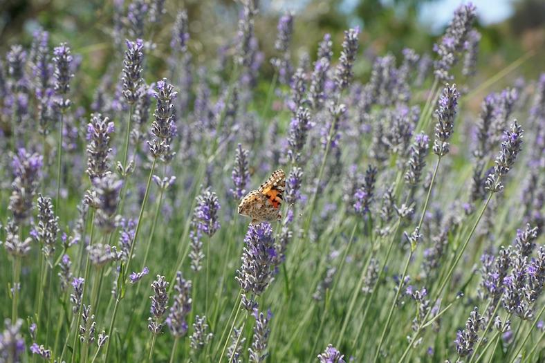lavender-822480_788x525 copy